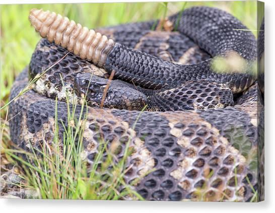 Timber Rattlesnakes Canvas Print - Timber Rattlesnake by Derek Thornton