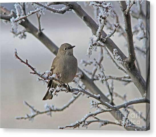 Canvas Print - Townsend's Solitaire by Gary Wing