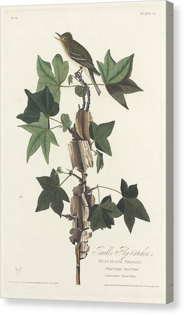 Flycatcher Canvas Print - Traill's Flycatcher by John James Audubon