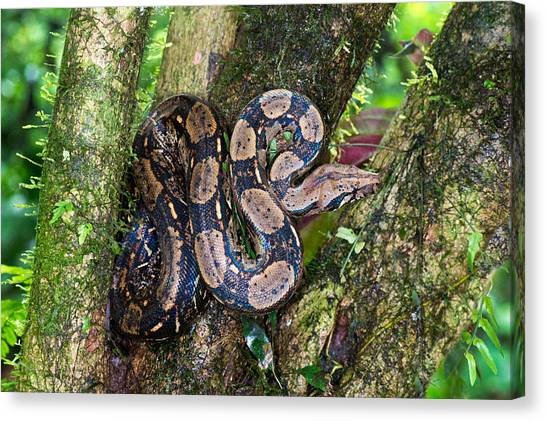 Boa Constrictors Canvas Print - Tree Boa On A Tree, Sarapiqui, Costa by Panoramic Images