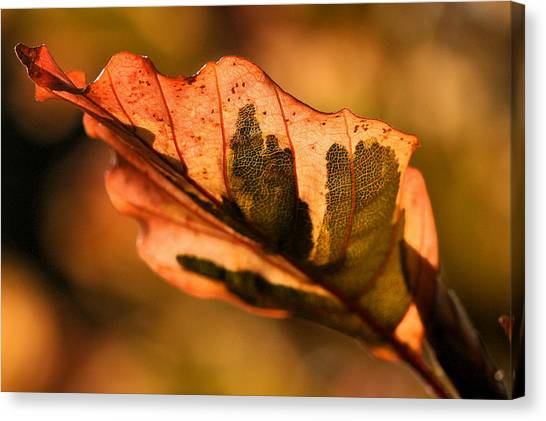 Tri-color Beech In Autumn Canvas Print