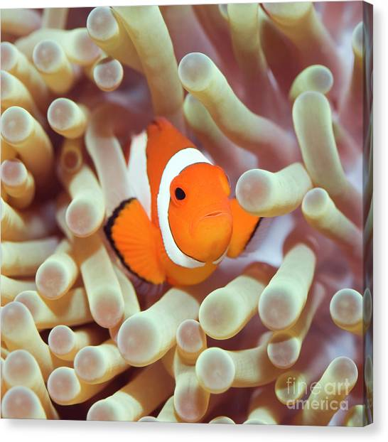 Anemonefish Canvas Print - Tropical Fish Clownfish by MotHaiBaPhoto Prints