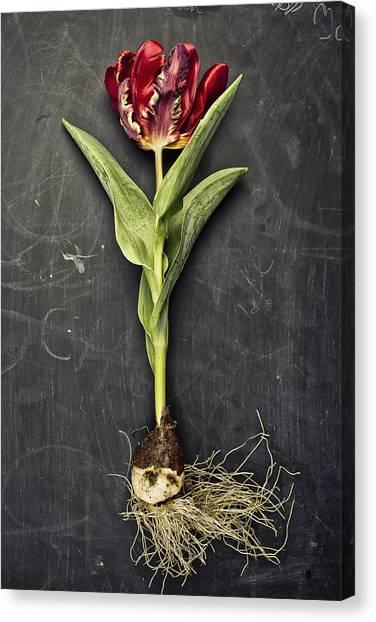 Red Tulip Canvas Print - Tulip by Nailia Schwarz
