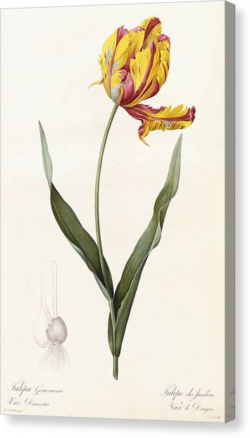 Elegant Canvas Print - Tulip by Pierre Joseph Redoute