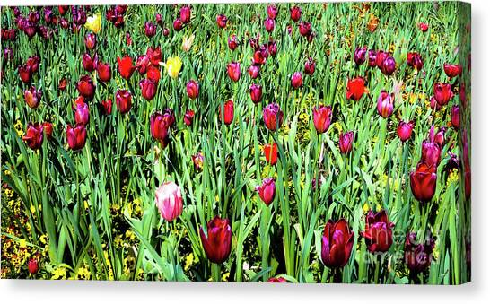 Tulips In Bloom Canvas Print by D Davila