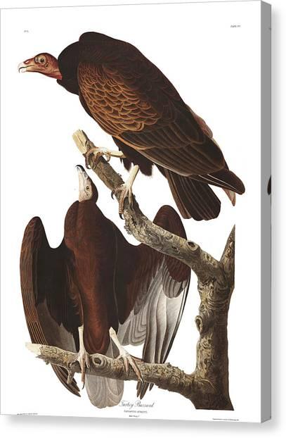 Buzzards Canvas Print - Turkey Buzzard by John James Audubon