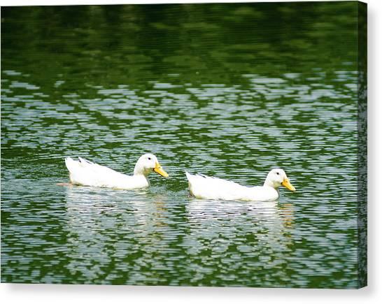 Two Ducks Canvas Print