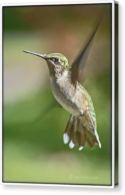 Untitled Hum_bird_five Canvas Print