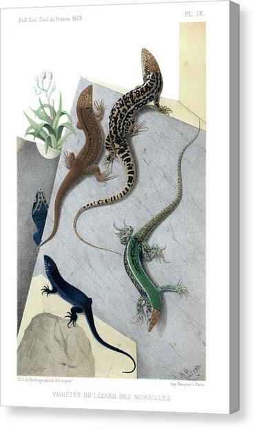 Varieties Of Wall Lizard Canvas Print