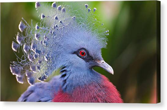 Peacocks Canvas Print - Victoria Crowned Pigeon by Mariel Mcmeeking