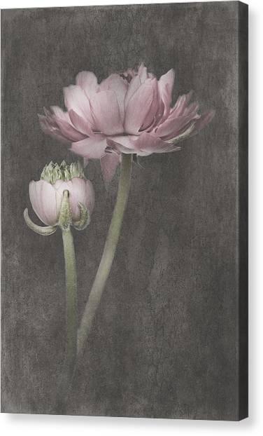 Canvas Print - Vintage Ranunculus by Amanda Lakey