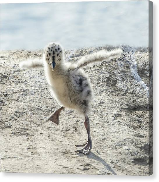 Western Gull Chick Dancing Canvas Print