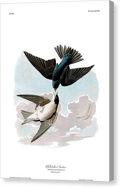 Swallows Canvas Print - White-bellied Swallow by John James Audubon