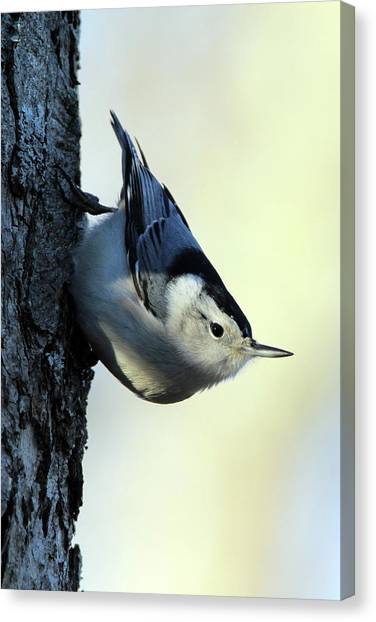 White Breasted Nuthatch Wading River New York Canvas Print
