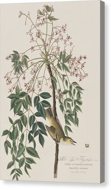 Flycatchers Canvas Print - White-eyed Flycatcher by John James Audubon