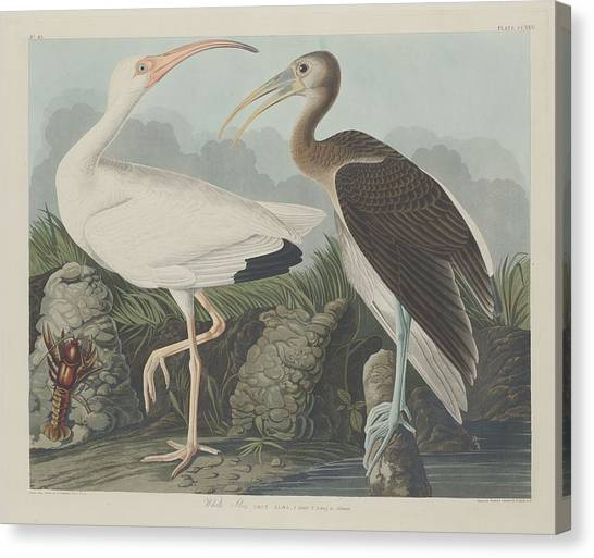 Ibis Canvas Print - White Ibis by Dreyer Wildlife Print Collections