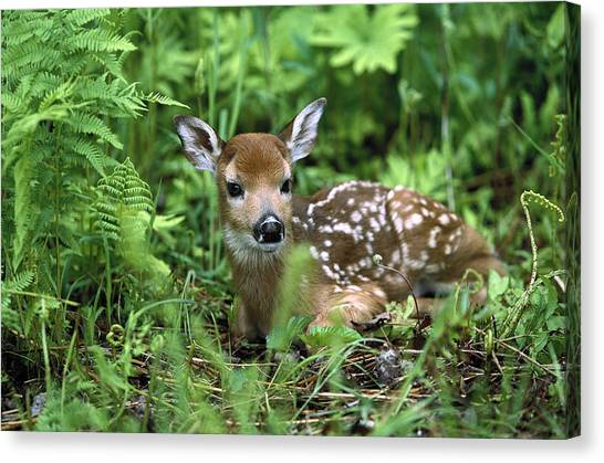 Canvas Print featuring the photograph White-tailed Deer Odocoileus by Konrad Wothe