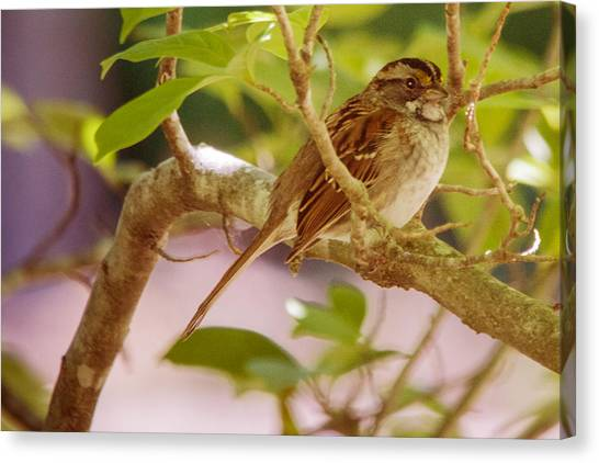 White Throated Sparrow Canvas Print by Barry Jones