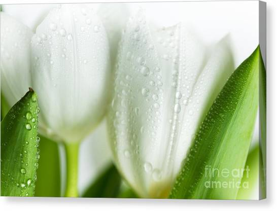 Postcards Canvas Print - White Tulips by Nailia Schwarz