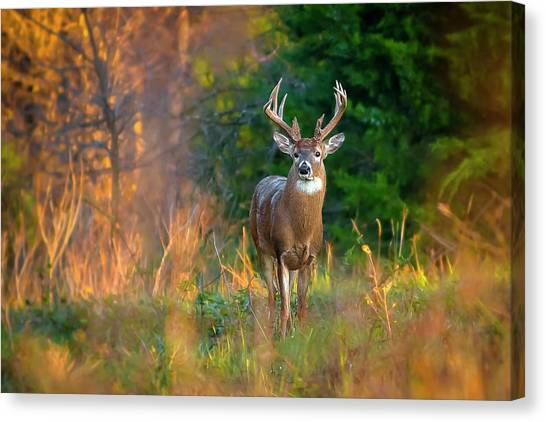 Whitetail At Sunset Canvas Print