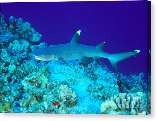 White Tip Sharks Canvas Print - Whitetip Reef Shark by Dave Fleetham - Printscapes