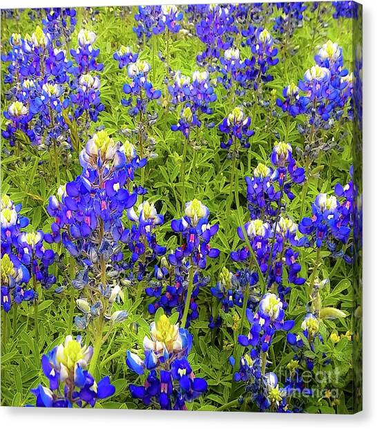 Wild Bluebonnets Blooming Canvas Print