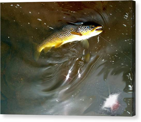 Wild Brown Trout Canvas Print by Mike Shepley DA Edin