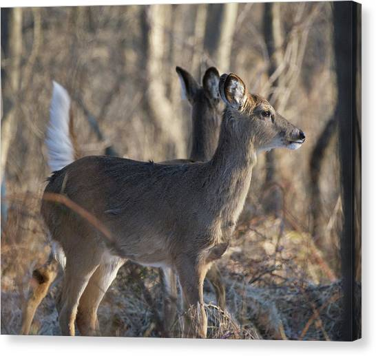 Wild Deer Canvas Print