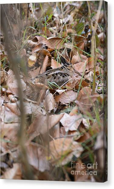 Woodcock Canvas Print - Timberdoodle 2 by Chip Laughton