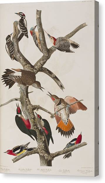 Woodpeckers Canvas Print - Woodpeckers by John James Audubon