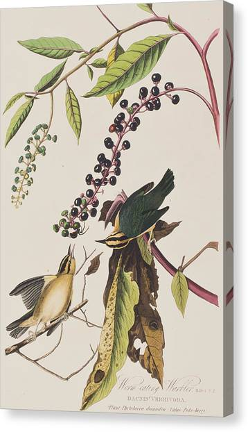 Warblers Canvas Print - Worm Eating Warbler  by John James Audubon