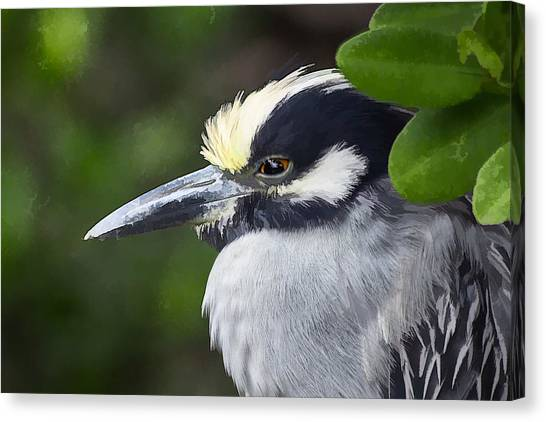 Yellow-crowned Night Heron Canvas Print