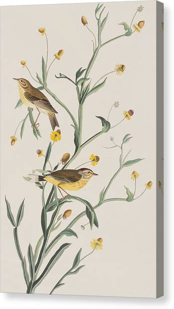 Warbler Canvas Print - Yellow Red-poll Warbler by John James Audubon