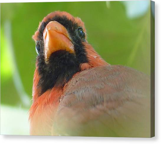 Songbirds Canvas Print - Young Cardinal by Laurie Gresch