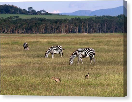Zebras - Zebres Canvas Print