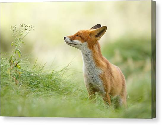 Humour Canvas Print - Zen Fox Series - Zen Fox by Roeselien Raimond
