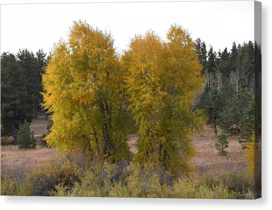 Aspen Trees In The Fall Co Canvas Print