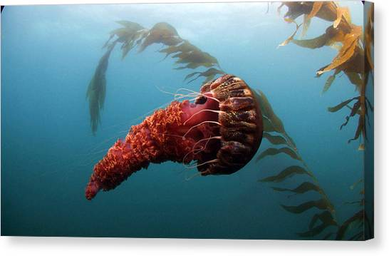 Sea Turtles Canvas Print - Jellyfish by Mariel Mcmeeking