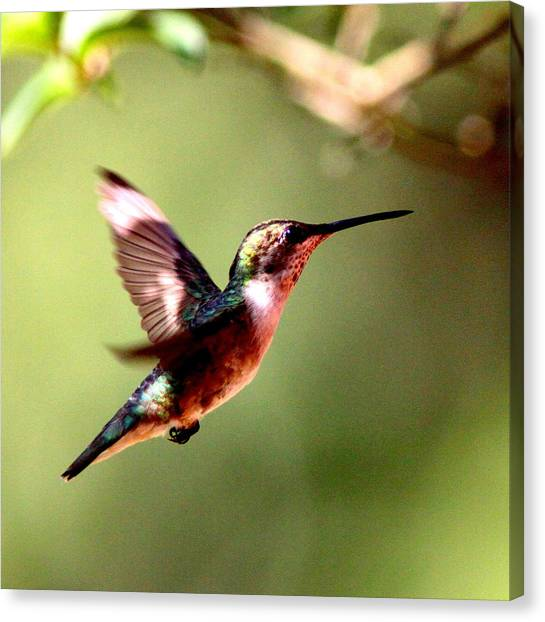 103456 - Ruby-throated Hummingbird Canvas Print