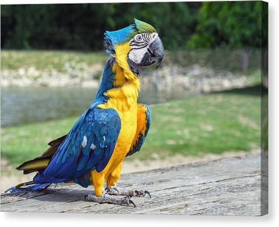 Peacocks Canvas Print - Blue-and-yellow Macaw by Mariel Mcmeeking