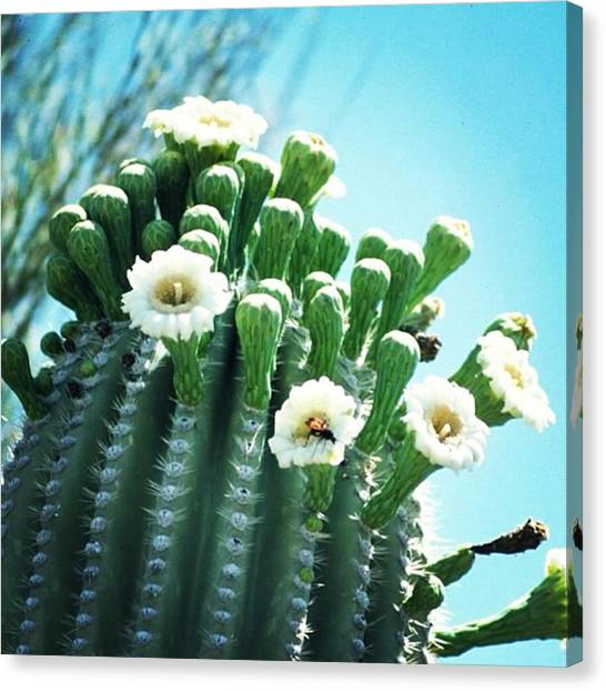 Sonoran Desert Canvas Print - Saguaro Blossoms by Laurie Gresch