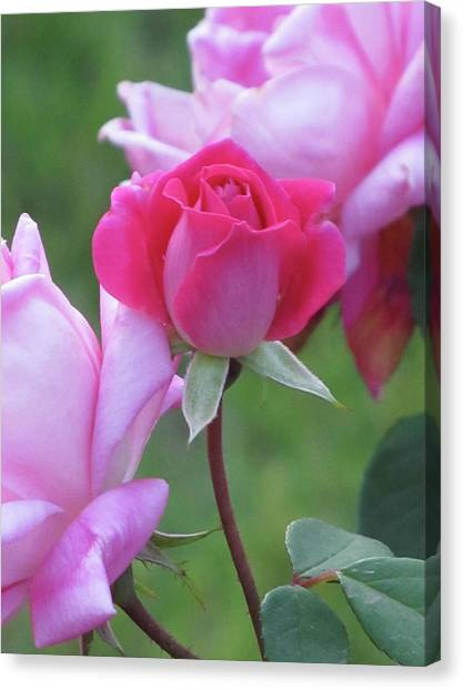 Rosebud Canvas Print by Michele Caporaso