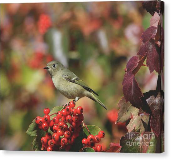 Canvas Print - Ruby-crowned Kinglet by Gary Wing