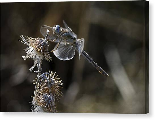 Dragonfly Canvas Print - Untitled by Antonio Grambone
