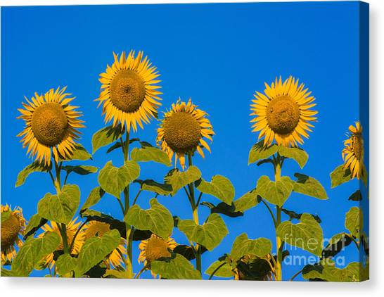 Sunflower Canvas Print - Field Of Sunflowers by Bernard Jaubert