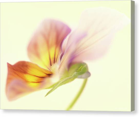 Canvas Print - Pansy by Anne Geddes