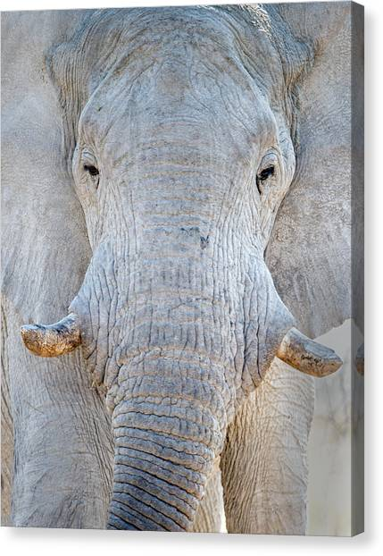Elephants Canvas Print - African Elephant Loxodonta Africana by Panoramic Images