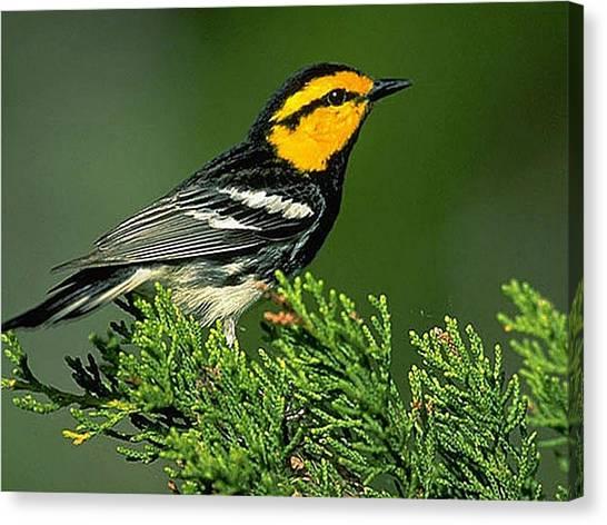 Woodpeckers Canvas Print - Bird by Maye Loeser