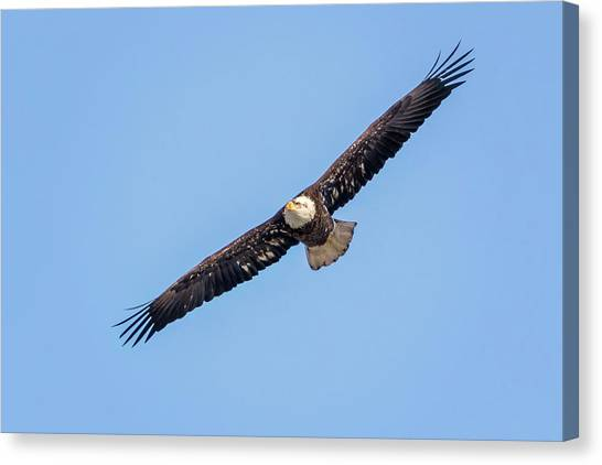Canvas Print featuring the photograph Bald Eagle by Peter Lakomy