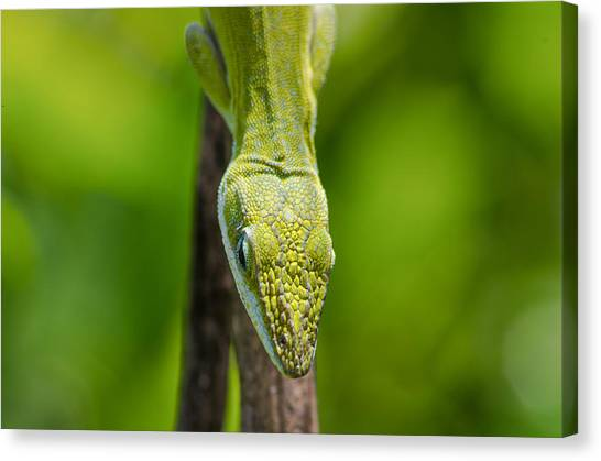 Green Lizard Canvas Print